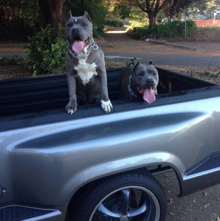 Darren McFadden's Dogs Live the Good Life Riding around in His Classic Chevy C10